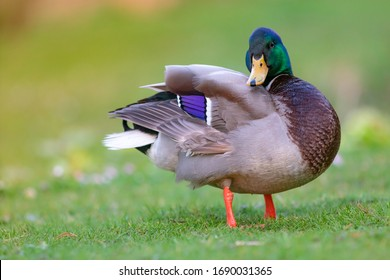portrait of a cute mallard duck waterfowl bird
