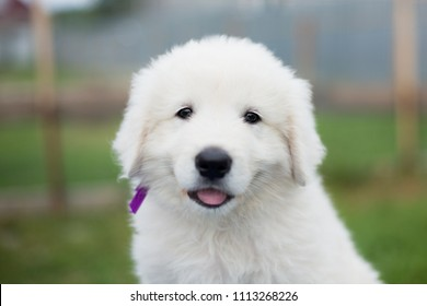 Portrait of a cute maremma puppy with purple ribbon sitting on the table outside in summer. Close-up of Adorable white fluffy puppy breed maremmano abruzzese dog