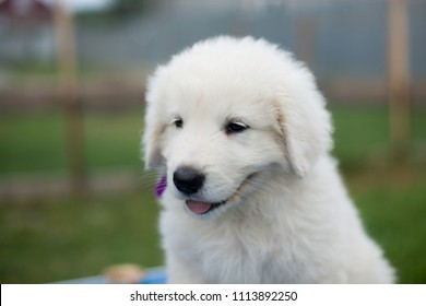 Portrait of a cute maremma puppy with purple ribbon sitting on the table outside in summer. Profile image of Adorable white fluffy puppy breed maremmano abruzzese dog