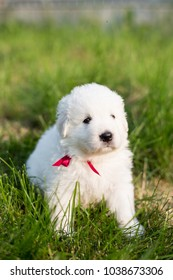 Portrait of a cute maremma sheepdog puppy outside in summer. Sweet white puppy is in the yard in green grass