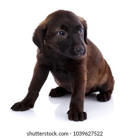 Portrait of a cute Mixed breed dog puppy, studio shot, isolated on white.