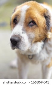 Portrait of Cute Muzzle. Old Sad Dog. Blurred Background. Big Dog With A Collar Pictures. Alabai Breed
