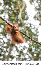 Portrait of a cute and playful baby orangutan swining on a wine and laughing in the greenery of a rainforest. Singapore.