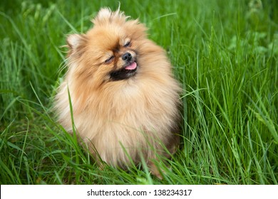 Portrait of a cute Pomeranian with eyes closed