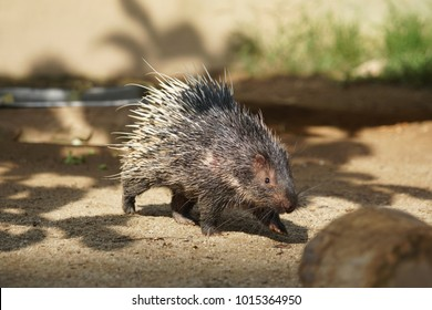 Portrait of cute porcupine. The Malayan porcupine or Himalayan porcupine (Hystrix brachyura) is a species of rodent in the family Hystricidae.