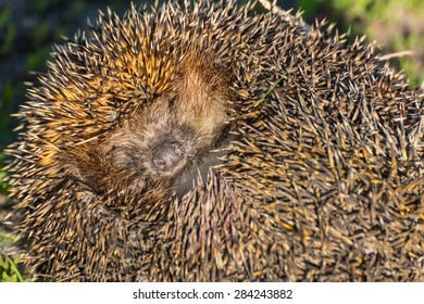 Portrait of cute and pretty hedgehog sleeping in the grass close up