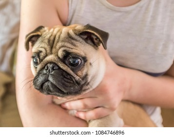 Portrait of a cute pug dog being held in arms