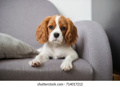 portrait of a cute puppy cavalier king charles spaniel on couch