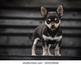 portrait of Cute puppy of chihuahua