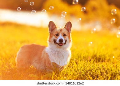 portrait cute puppy dog Corgi sits on a bright green meadow filled with warm sunlight and shiny soap bubbles on a summer evening