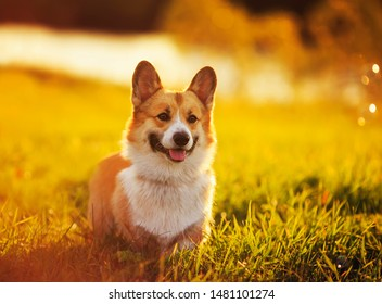 portrait cute puppy dog Corgi sits on a bright green meadow filled with warm sunlight and Shine on a summer evening