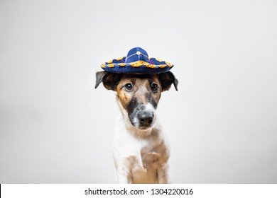 Portrait of cute puppy in mexican traditional hat posing in white background indoors. Smooth fox terrier dog dressed up in sombrero hat sitting in isolated studio background