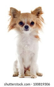 portrait of a cute purebred  chihuahua in front of white background
