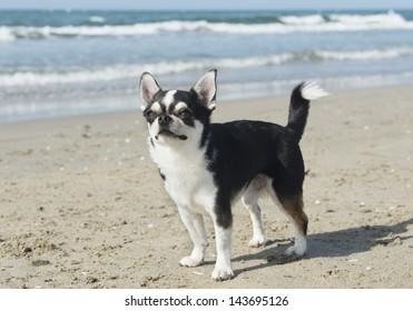portrait of a cute purebred  chihuahua on the beach