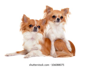 portrait of a cute purebred   chihuahuas  in front of white background