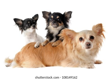 portrait of a cute purebred  puppies and adult chihuahuas in front of white background