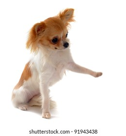 portrait of a cute purebred  puppy chihuahua who giving his paw in front of white background