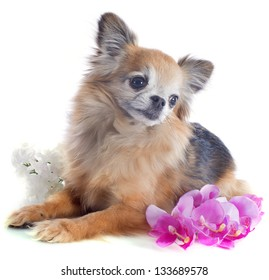 portrait of a cute purebred  senior chihuahua in front of white background