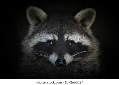 Portrait of a cute raccoon on a black background