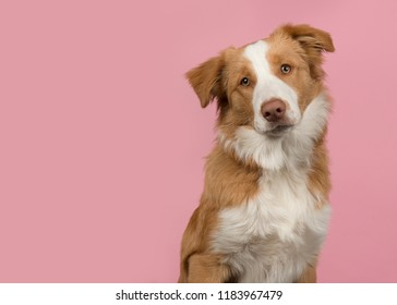 Portrait of a  cute red border collie dog on a pink background