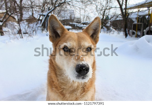 A portrait of a cute red dog enjoying the  snowy winter in the countryside.