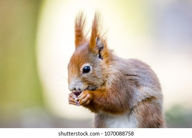 Portrait of cute red haired squirrel eating nuts in park. Curious rusty squirrel holding nut in hands. Animal portrait photo.
