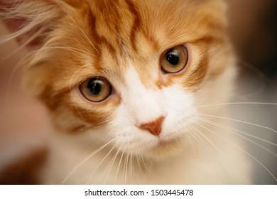 Portrait of a cute red kitten