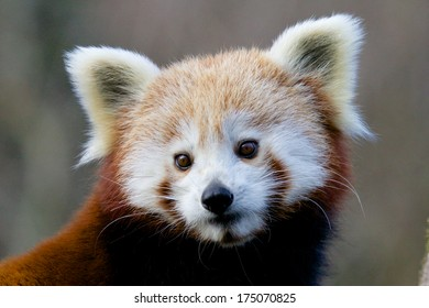 Portrait of a cute Red Panda, an endangered species from the Himalayas