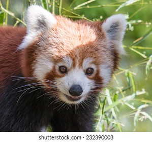 Portrait of a cute Red Panda, an endangered species of the Himalayas