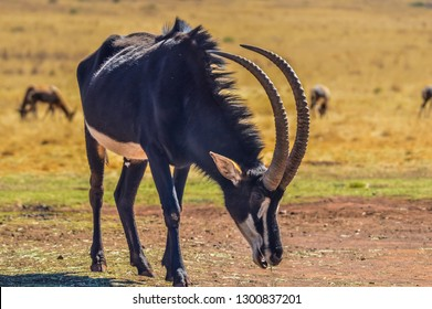 Portrait of a cute Sable Antelope in a game reserve in Africa