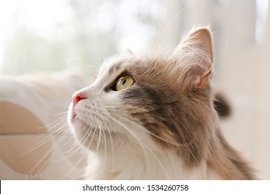 Portrait of cute siberian cat with green eyes by the window. Soft fluffy purebred straight-eared long hair kitty. Copy space, close up, background. Adorable domestic pet concept.