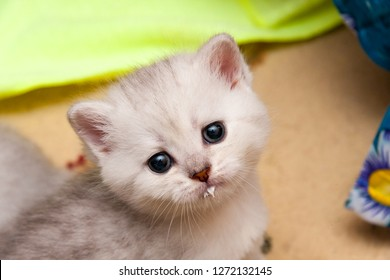 Portrait of a cute silvery British kitten with a milk-stained muzzle who looks at the camera.