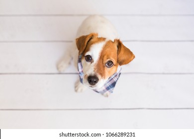 portrait of a cute small dog wearing a blue bandana. White background. Pets indoors, home or studio, lifestyle. Top view