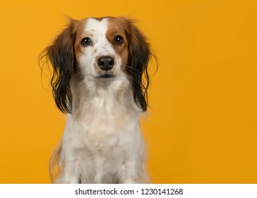 Portrait of a cute small dutch waterfowl dog looking at the camera on a yellow background