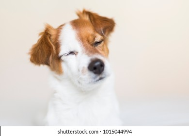 portrait of a cute small white and brown dog sitting on bed with eyes closed, he is feeling tired or sleepy. Pets indoors. White background