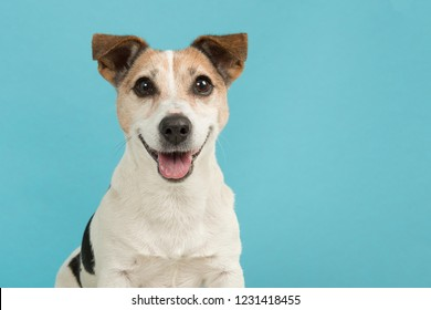 Portrait of a cute smiling Jack Russell terrier dog seen from the front on a blue background
