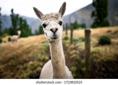 Portrait of an cute smily alpaca, sheared lama head close up
