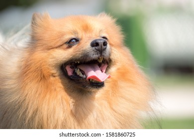 Portrait of a cute spitz dog with tongue sticking out. Happy smile ginger pure bred puppy outside with bokeh background.