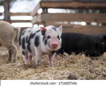 Portrait of a cute spotted pig on a free-range farm