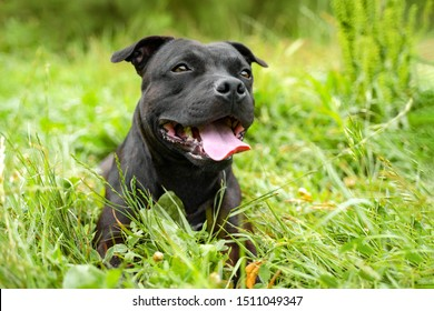 portrait of a cute staff bull dog, smile and happy in summer sunny day for a walk in the summer park