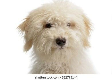 Portrait of a cute Tibetan Terrier puppy, studio shot, isolated on white.