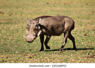 Portrait of cute walking warthog, Pumba, Okapuka ranch, Namibia
