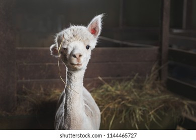 Portrait of cute white alpaca on the farm