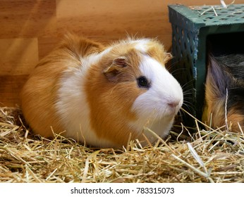 Portrait of cute white and brown guinea pig. Close up photo.
