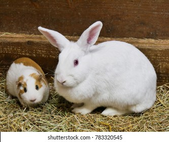 Portrait of cute white and brown guinea pig and white rabbit. Close up photo.