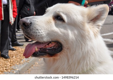 Portrait of Cute White Dog