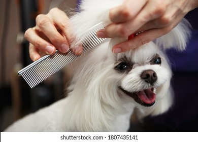 Portrait of cute white Maltese puppy being groomed in veterinarian clinic.Adortable toy dog in grooming salon.Happy pet posing on groomer table in close up