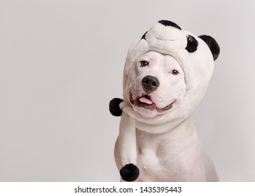 Portrait of cute white pit bull terrier in panda hat sitting on white background. Dog looks left. Party costume concept. Copy space