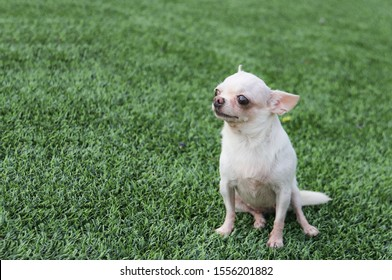 Portrait of cute white short hair chihuahua dog sitting on the green grass, looking away.Image of small dog on green grass with copy space.
