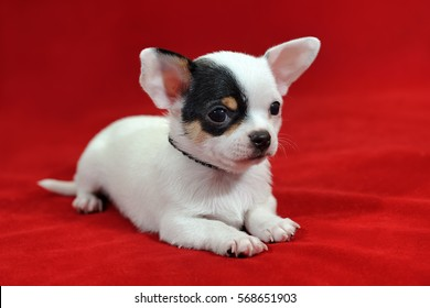 Portrait of a cute white short-hair miniature Chihuahua puppy with a big black eye patch on red background. The puppy is 2 months old on the picture